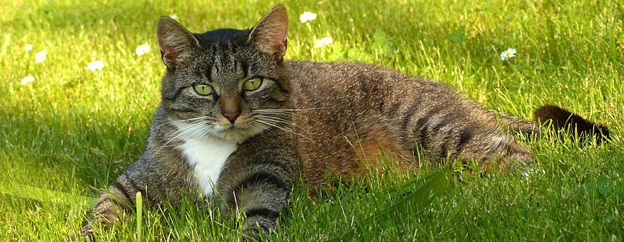Katzen mit Übergewicht - kann BARF helfen?