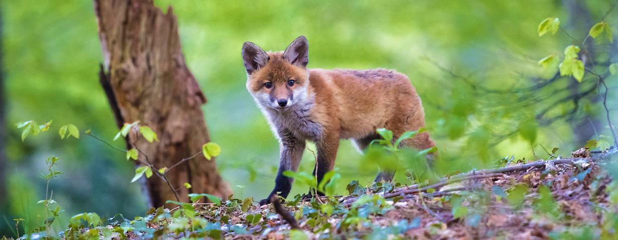 Angst vor Fuchsbandwurm unbegründet: PETA-Expertin klärt über mögliche Risikogruppen und Präventivmaßnahmen auf