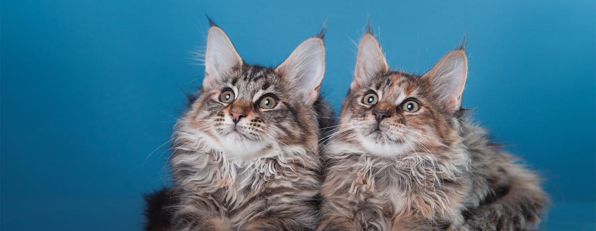 Die Maine Coon Katze – Rasseprofil