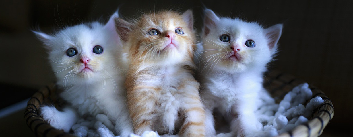 Die Top 10 Katzenrassen in der Übersicht
