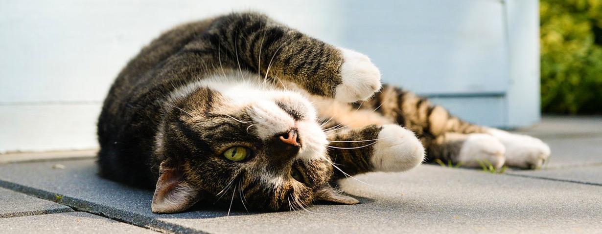 Arthrose – Katzen leiden oft unbemerkt