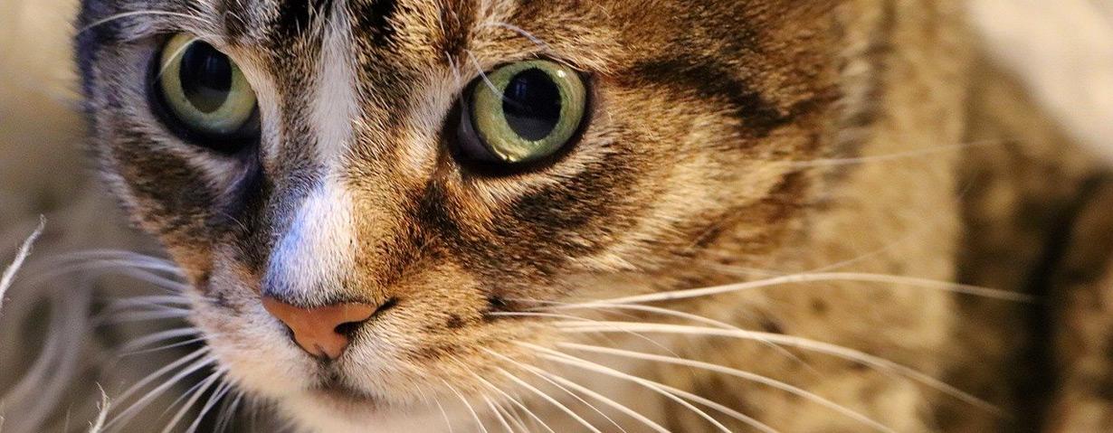 Hautpilze bei Katzen: Klein und gemein